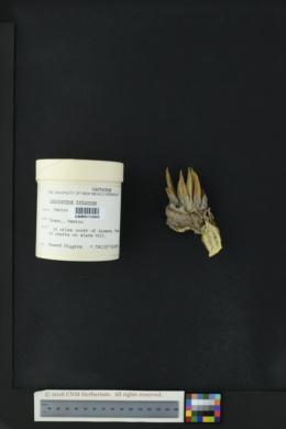 Image of Ariocarpus trigonus