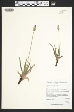 Agoseris glauca image