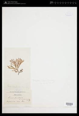 Scinaia undulata image
