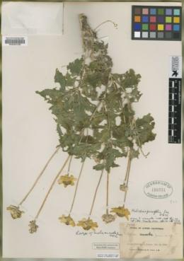 Heliopsis anomala image