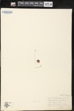 Mitella nuda image