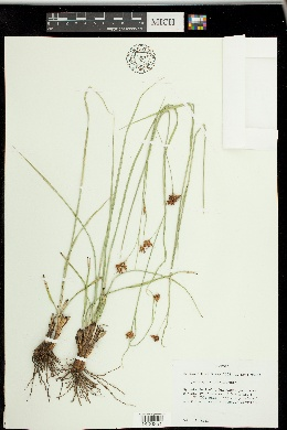 Image of Rhynchospora grayi