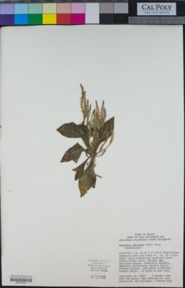 Elytraria imbricata image