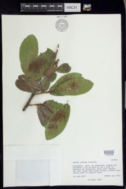 Image of Prunus zinggii