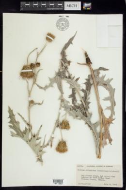 Image of Cirsium ciliolatum