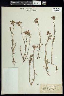 Image of Castilleja indivisa