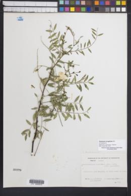 Image of Sesbania longifolia