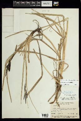 Image of Carex cochranei