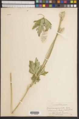Anemone coronaria image