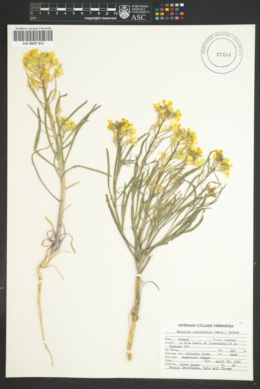 Image of Erysimum occidentale