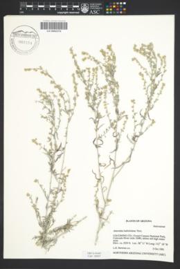 Artemisia ludoviciana image