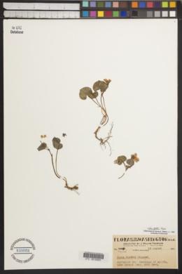 Image of Viola flettii