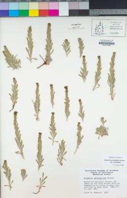 Erigeron petrophilus var. petrophilus image