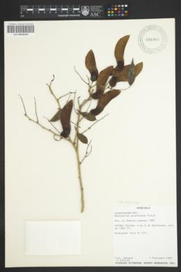 Image of Machaerium arboreum