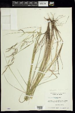 Image of Nassella linearifolia