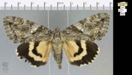 Catocala aholibah image