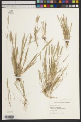 Image of Trisetum neglectum