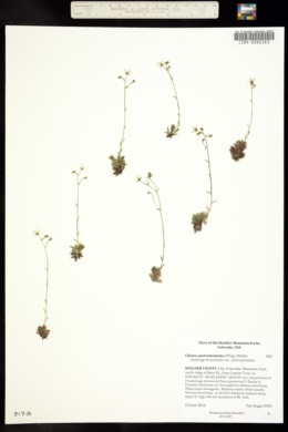 Image of Ciliaria austromontana