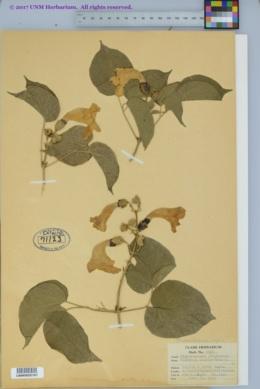 Macfadyena unguis-cati image