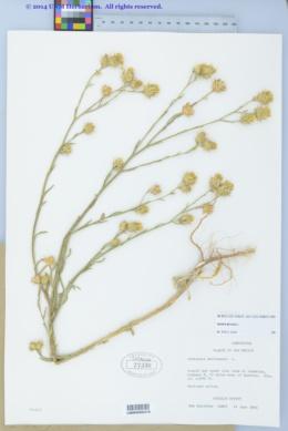 Centaurea melitensis image