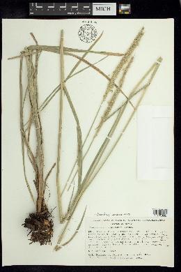 Cenchrus michoacanus image