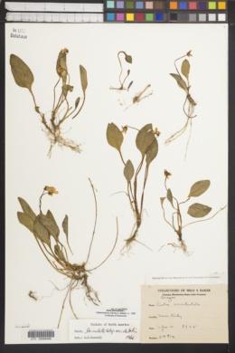 Viola primulifolia subsp. occidentalis image