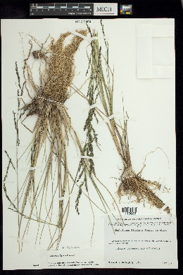 Image of Muhlenbergia ligulata