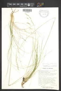 Piptochaetium fimbriatum image