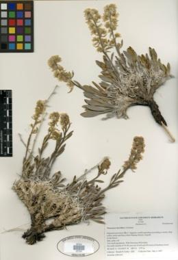 Image of Oreocarya breviflora