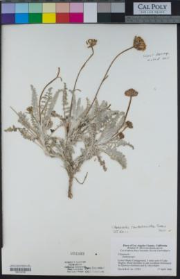 Chaenactis santolinoides image