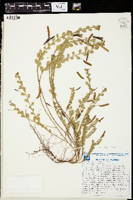 Image of Chamaecrista rotundifolia