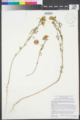 Image of Clarkia bottae