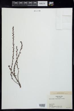 Image of Phyllanthus heliotropus