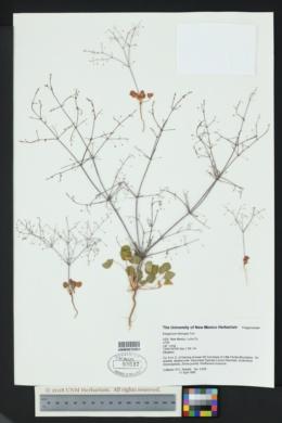 Eriogonum trichopes image