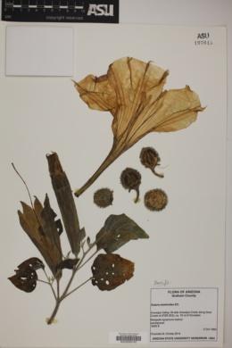 Datura wrightii image
