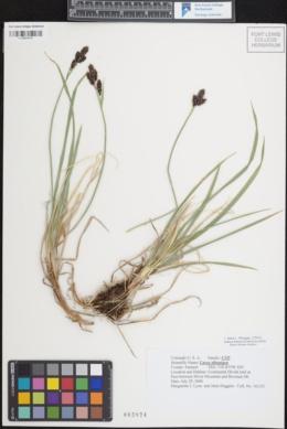 Carex albonigra image