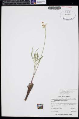 Lomatium simplex image