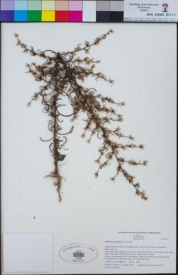 Dittrichia graveolens image