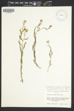 Heterotheca villosa var. scabra image
