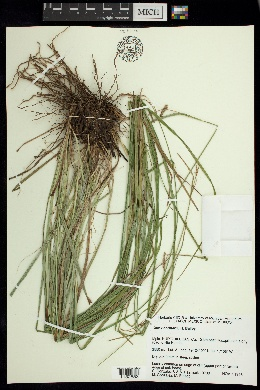 Image of Carex coulteri