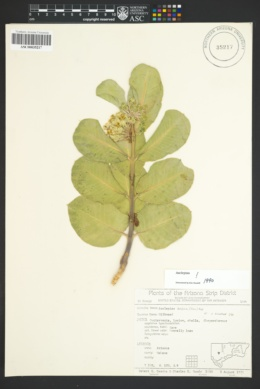 Asclepias latifolia image
