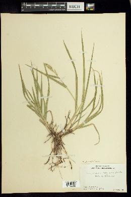 Urochloa meziana image