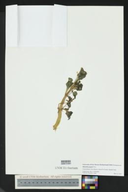 Erythranthe geyeri image