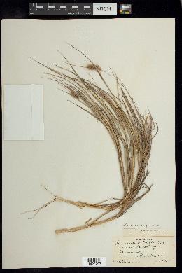 Cenchrus polystachios image