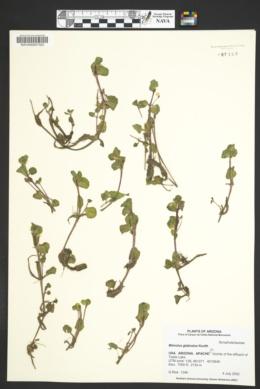 Erythranthe glabrata image