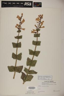 Penstemon pseudospectabilis subsp. connatifolius image