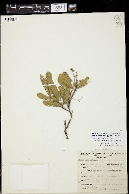 Acacia anisophylla image