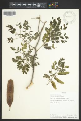 Image of Acacia gaumeri