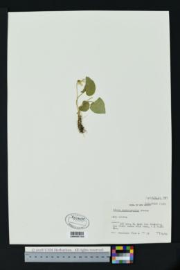 Viola nephrophylla image
