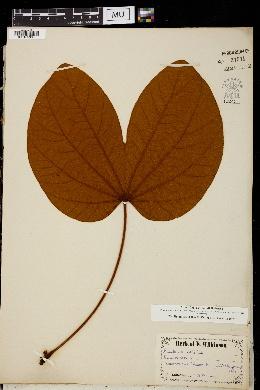 Image of Bauhinia vahlii